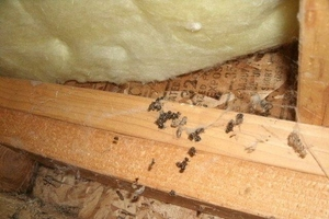 Carpenter Ants in Insulation